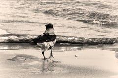 Kraai op de kust Royalty-vrije Stock Afbeelding
