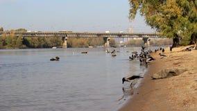 Kraai op de rivierbank stock footage