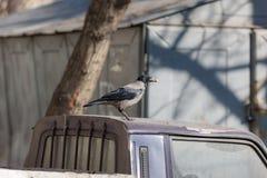 Kraai op het dak van de auto Royalty-vrije Stock Afbeelding