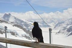 Kraai op Jungfrau-berg Royalty-vrije Stock Afbeeldingen