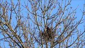 Kraai op nest in de lente stock videobeelden