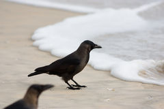 Kraai op strand Stock Foto's