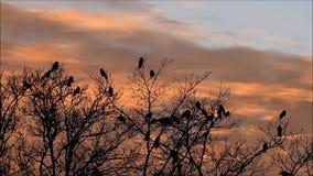 Kraaien in boom bij zonsondergang stock video