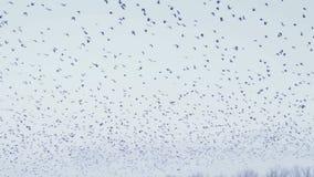 Kraaien die in de hemel vliegen stock footage