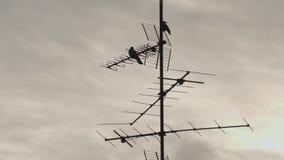 Kraaien die op TV-Antenne zitten stock video