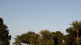 Kraaien die over bomen vliegen stock video