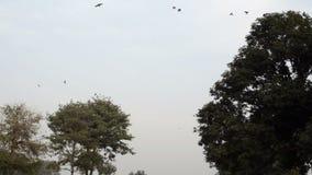 Kraaien die over bomen vliegen stock videobeelden