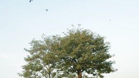 Kraaien die vanaf een boom vliegen stock videobeelden