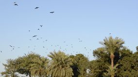 Kraaien die wegvliegen stock footage