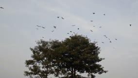 Kraaien die wegvliegen stock video