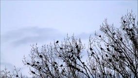 Kraaien op boom, aard, team, achtergrondblauw stock videobeelden