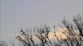 Kraaien op boom die wegvliegen stock footage