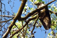 Kraaien op de tak Stock Foto's