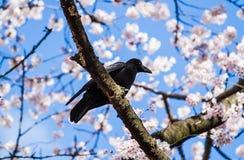 Kraaien op sakuraboom Royalty-vrije Stock Foto's