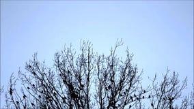 Kraaien, raaf, boom, de winter stock footage