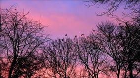 Kraaienraaf op boom die - rode wolken als achtergrond wegvliegen stock videobeelden
