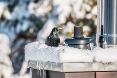 Kraaizitting op een sneeuw behandelde schoorsteen stock afbeeldingen