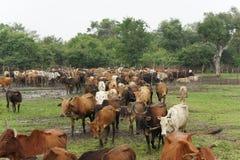Kraal nelle zone rurali nel Nord dello Sri Lanka Immagini Stock
