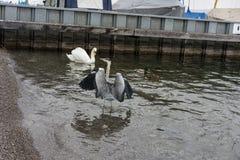 Kraan en zwaanvogel in meerwater royalty-vrije stock foto's