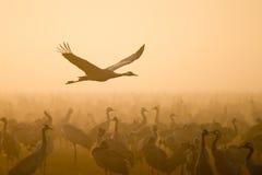 Kraanvogel Stock Foto's