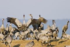 Kraanvogel Stock Afbeeldingen