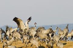 Kraanvogel Royalty-vrije Stock Foto's