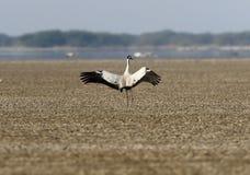 Kraanvogel die in woestijn opstijgen Royalty-vrije Stock Fotografie
