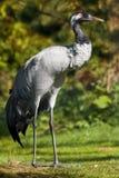 Kraanvogel (grus Grus) Stock Afbeelding