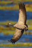 Kraanvogel, Grus-grus, vliegende grote vogel in de aardhabitat, Meer Hornborga, Zweden Royalty-vrije Stock Afbeelding
