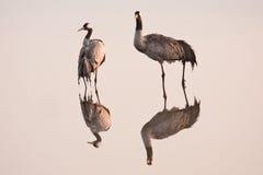 Kraanvogels royalty-vrije stock afbeelding