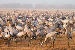 Kraanvogels stock afbeelding