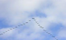 Kraanvogels bij passage van vogels Royalty-vrije Stock Afbeelding