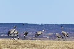 Kraanvogels in de lente Stock Fotografie