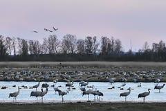 Kraanvogels die aan Zweden aankomen Royalty-vrije Stock Afbeelding