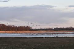 Kraanvogels die aan Zweden aankomen Royalty-vrije Stock Fotografie