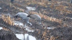 Kraanvogels of het Europees-Aziatische de vogels van Kranengrus Grus voeden stock video