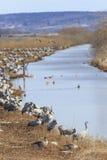 Kraanvogels op gebied bij de rivier Stock Afbeeldingen
