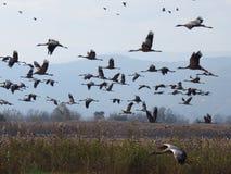Kraanvogelsmigratie royalty-vrije stock foto