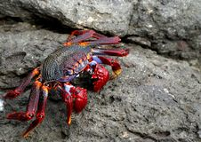 Krab in aanvalspositie stock afbeelding
