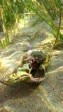Krab binnen shell in overzees stock foto