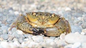 Krab chodzi na otoczak plaży Obraz Royalty Free