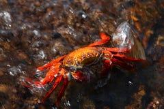 krab czerwień Zdjęcia Stock