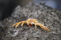 Krab, de Bermudas Royalty-vrije Stock Foto's