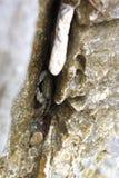 Krab in de rots wordt verborgen die Stock Foto