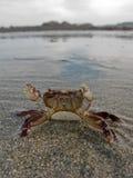 krab defensywa Fotografia Royalty Free