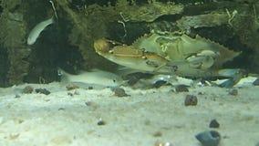 Krab die een stuk vissen eten stock footage