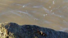 Krab die en op het zware water lopen de kruipen die van strandrotsen hen grijpen met drukkrabben het zoeken jaagt en voedsel op h stock video