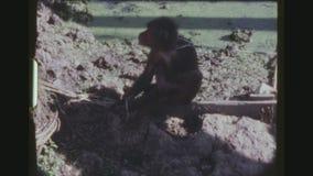 Krab die Macaque op een Leiband eten stock videobeelden
