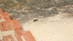 Krab die op een concrete plak kruipen stock video