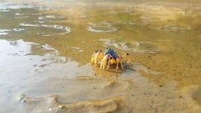 Krab die op het Regenboogeiland lopen in Australië royalty-vrije stock foto's